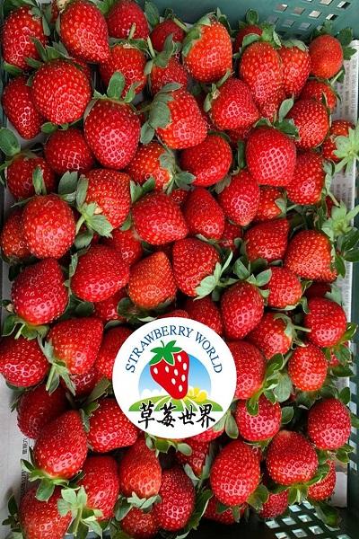 草莓世界.jpg